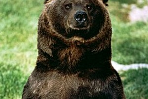 204020 a wild brown bear