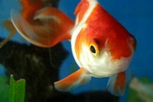 252857 goldfish