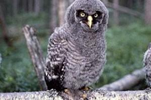 252866 great grey owl