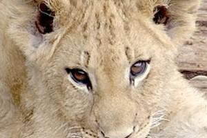 252896 lion cub