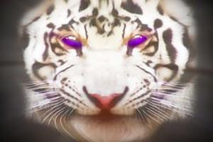 252992 tiger